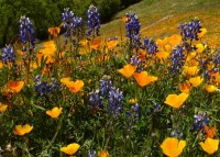 Lupines and Poppies above El Portal