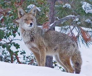 Yosemite West coyote