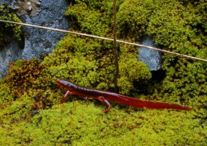 California Newt