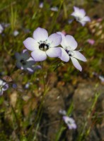 Bird&#039;s Eye Gilia