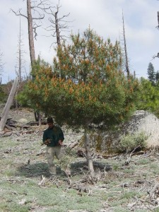 Knob Cone Pine sapling